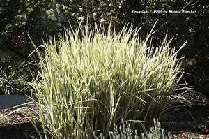 Miscanthus Sinensis Variegatus : miscanthus sinensis variegatus silver grass california gardens ~ Eleganceandgraceweddings.com Haus und Dekorationen