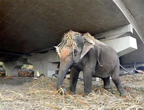 tortured beggar elephants  torn ears  cut tusks