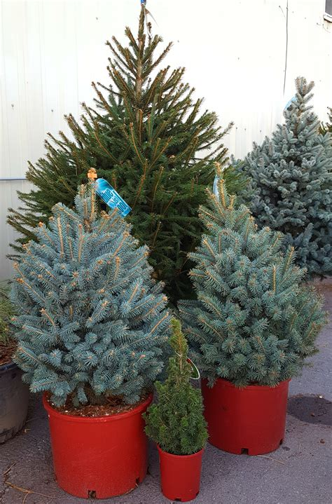 potted live christmas trees in san diego potted tree awesome tree container gardening container tree
