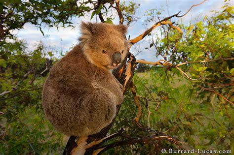 koala  sunset burrard lucas photography