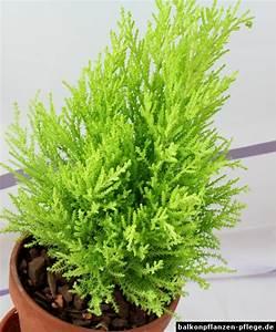 Winterharte Kübelpflanzen Schattig : zimmerzypresse cupressus macrocarpa balkonpflanzen pflege ~ Michelbontemps.com Haus und Dekorationen