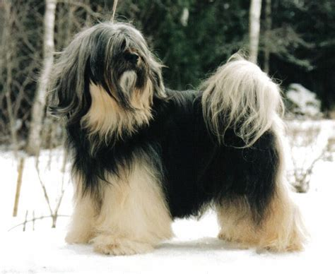 tibetan terriers do they shed 17 best ideas about tibetan terrier on terrier