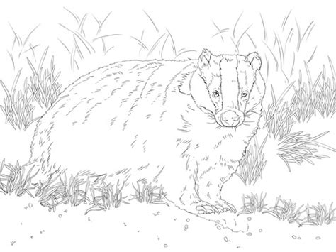 european badger coloring page  printable coloring pages