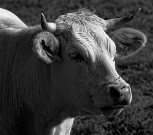 Tete De Vache Deco : t te de vache charolaise nikon d7000 ~ Melissatoandfro.com Idées de Décoration