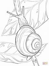 Snail Coloring Pages Outline Lips Drawing Colouring Lipped Realistic Printable Drawings Easy Sheets Mollusc Tattoo Template Land Insect Snails Supercoloring sketch template