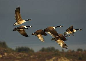 Canada Goose Wikipedia Free Encyclopedia Canada Goose Kids Outlet 2016