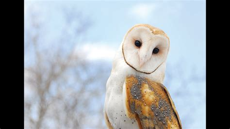 This Is All You Need To Know About Barn Owls