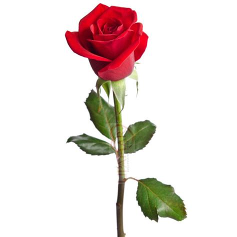 Fill Your Loved One's Room With Full Of Roses