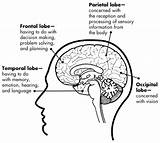 Brain Addiction Cortex Lobes Balance Science Worksheets Anatomy System Limbic Lobe Cerebral Health Education Awaremed Functions Neurotransmitters Drugs Care Jelly sketch template