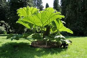 Tropische Pflanzen Kaufen : garten pflanzen samen winterharte zierpflanze saatgut staude mammutblatt ebay ~ Watch28wear.com Haus und Dekorationen
