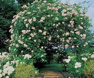 Rosier Grimpant Remontant : palisser un rosier grimpant sur un support roses guillot ~ Melissatoandfro.com Idées de Décoration