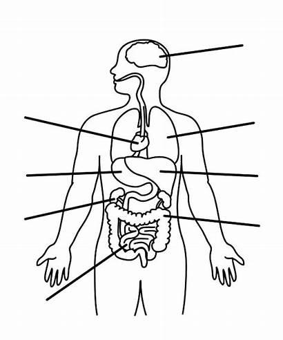 Coloring Parts Pages Human Organs Anatomy Printables