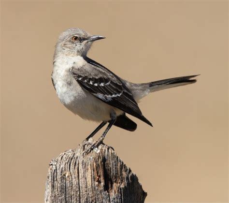 getting rid of mockingbirds thriftyfun