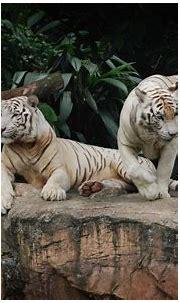 White Tiger HD Wallpaper | Background Image | 2800x1760 ...