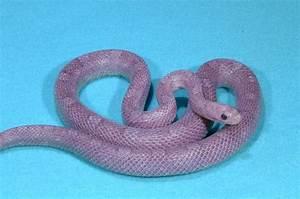 Lavender Corn Snake | Amazing Animals | Pinterest