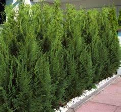 Leyland Zypresse Kaufen : heckenpflanzen bei hornbach kaufen ~ Frokenaadalensverden.com Haus und Dekorationen