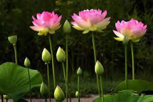 ed goodfellow web images flowers water lilies 2