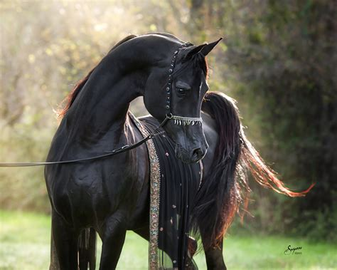 arabian horse horses stallion arabians arab breeds pretty egyptian texas rca bellagio tall tail stallions rarest legs bred know visit