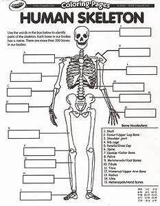Blank Skeleton Diagram