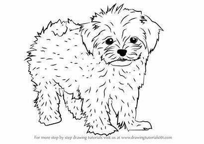 Maltese Drawing Draw Step Dogs Tutorials Dog