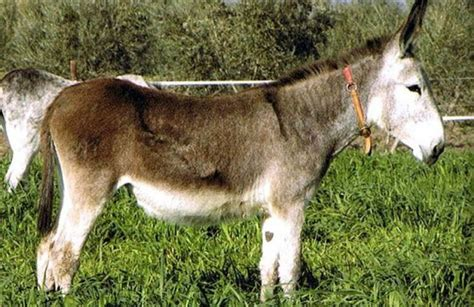 andalusian donkey facts donke classification