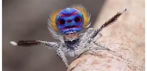 Faire Fuir Les Araignées : l araign e paon anab association nature alsace bossue ~ Melissatoandfro.com Idées de Décoration