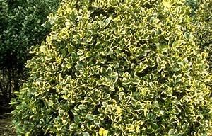 Ilex Hecke Giftig : welche heckenpflanze als sichtschutz seite 2 ~ Lizthompson.info Haus und Dekorationen