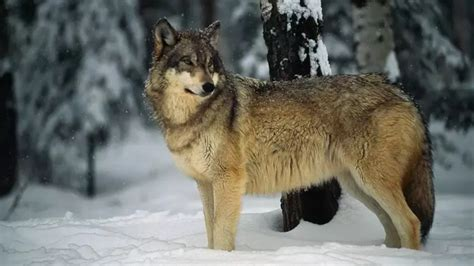 Pictures of Grey Wolves
