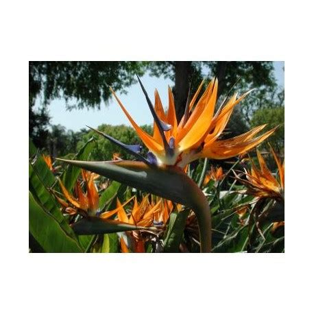 strelitzia reginae in vaso pianta di strelitzia reginae in vaso 24 altezza h 100 cm