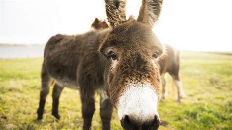 donkey milk   hailed    big superfood