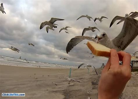 hand feeding seagulls in flight gopro video click like