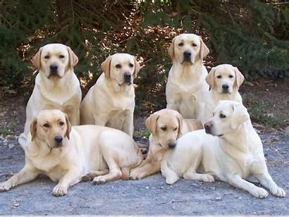 Labrador Retriever Labradors Labs Retrievers Dogs Yellow
