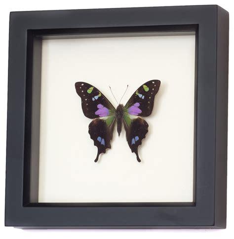 purple mountain swallowtail framed butterfly