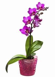 Künstliche Orchideen Im Topf : pflegehinweise f r orchideen muttertag blumen 2018 ~ Watch28wear.com Haus und Dekorationen