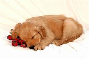 Golden Retriever Puppy Sleeping Photo - Happy Dog Heaven