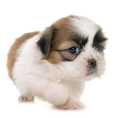 dog puppy food  shih tzu   goodpuppyfood