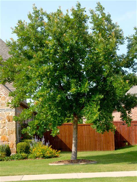 Best Shade Trees For Texas  Neil Sperry's Gardens