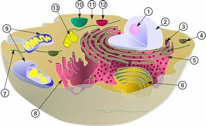 Cell Eukaryotic Animal Structure Wikipedia Biology Cytoskeleton
