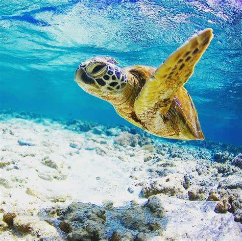 turtle swimming sea turtles water
