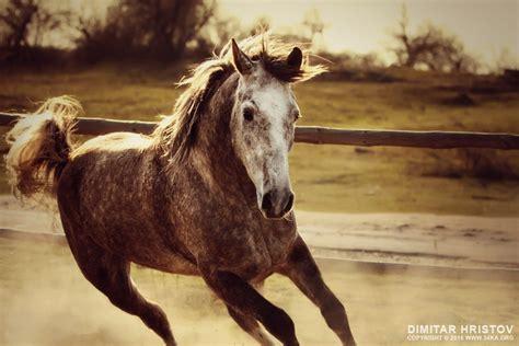gray horse mustang horse galloping ka photo blog