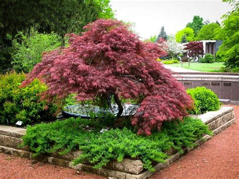 planting japanese maple trees plants for a japanese garden the tree center