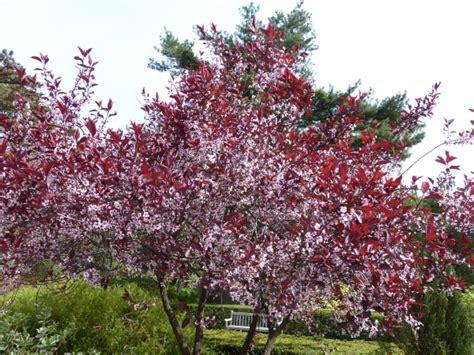 cherry tree with purple leaves cherry gammon s garden center landscape nursery