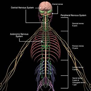 Skeleton  Anatomy  U0026 Nervous System   Rigged    U2013 Motioncow