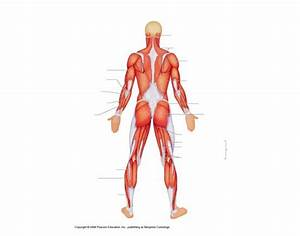 Posterior Surface Muscles