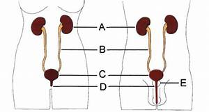 Urinary Systems In Women And Men A  Kidneys  B  Ureters  C