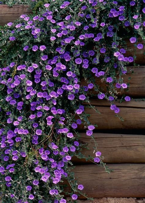 flowers that spillover cascading plants better homes and gardens