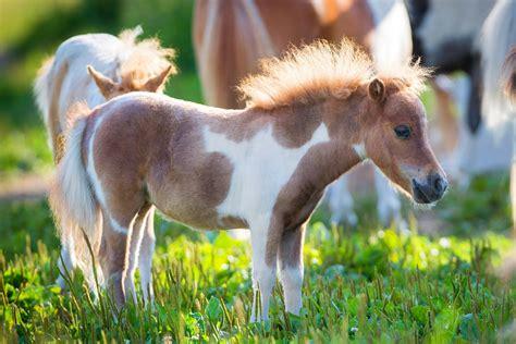 horse mini miniature horses fodors melory shutterstock