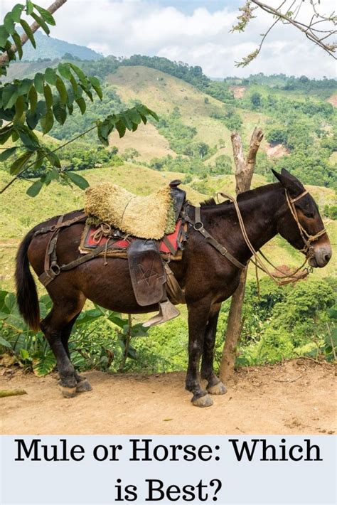 mule horse vs horses battle which than breed