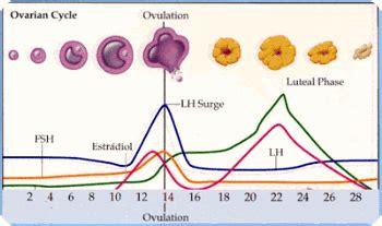 When Do Periods Resume After Child Birth by Quedar Embarazada Durante La Ovulacion