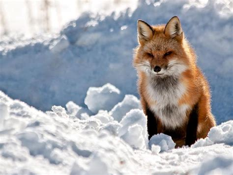Wallpaper Fox Animal - foxes wallpapers animals wiki pictures